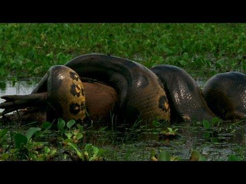 verdens største anakonda slange