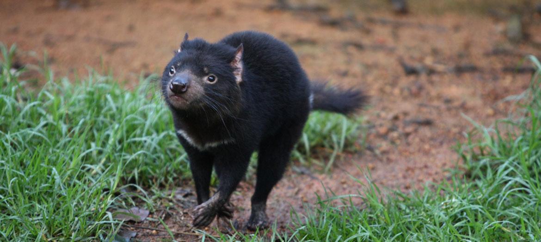 tasmansk djævel disney